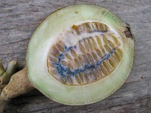 Genipa Americana fruit open