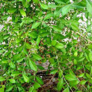 Henna Mehndi Plant.